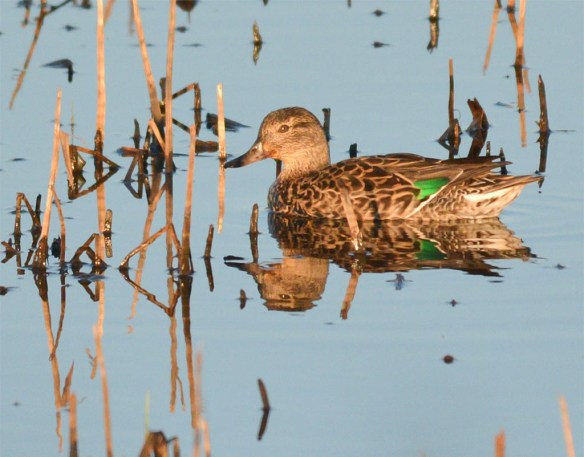 Green Winged Teal 2017-15
