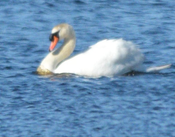 Mute Swan 2017-1