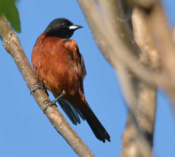 Orchard Oriole 2017-2