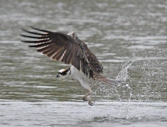 Osprey 2017-31