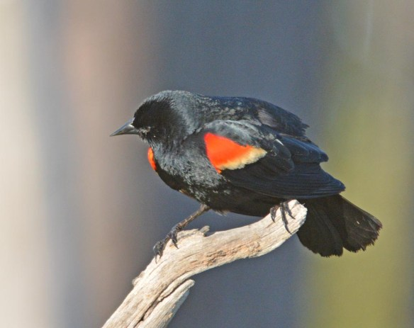Red Winged Blackbird 2017-15