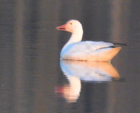 Snow Goose 2017-23
