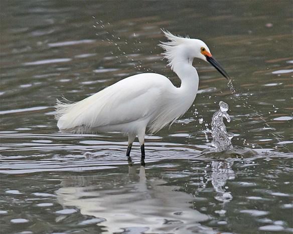 Snowy Egret 2017-17