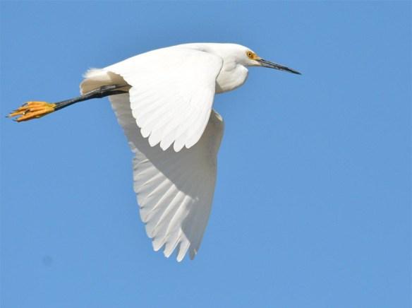 Snowy Egret 2017-6