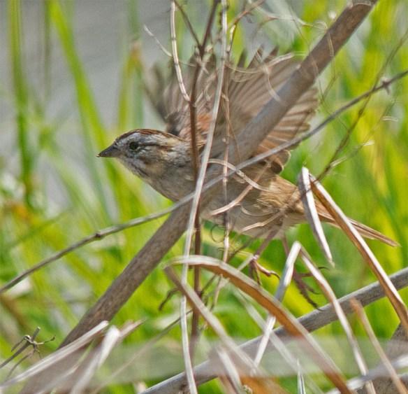 Swamp Sparrow 2017-1