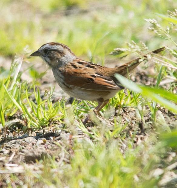 Swamp Sparrow 2017-2