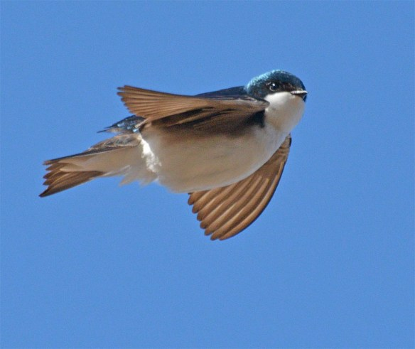 Tree Swallow 2017-14