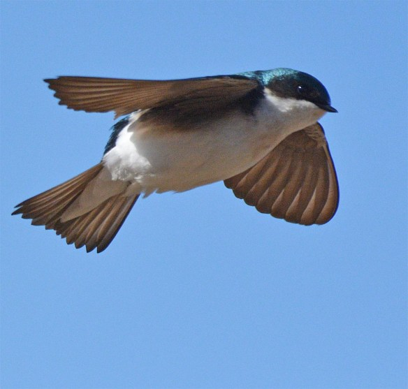 Tree Swallow 2017-15