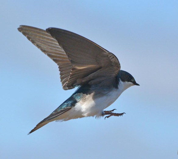 Tree Swallow 2017-16