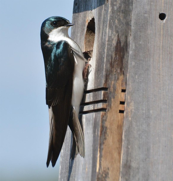 Tree Swallow 2017-17