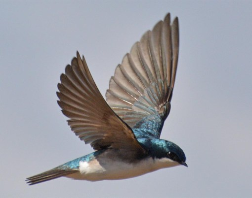 Tree Swallow 2017-22