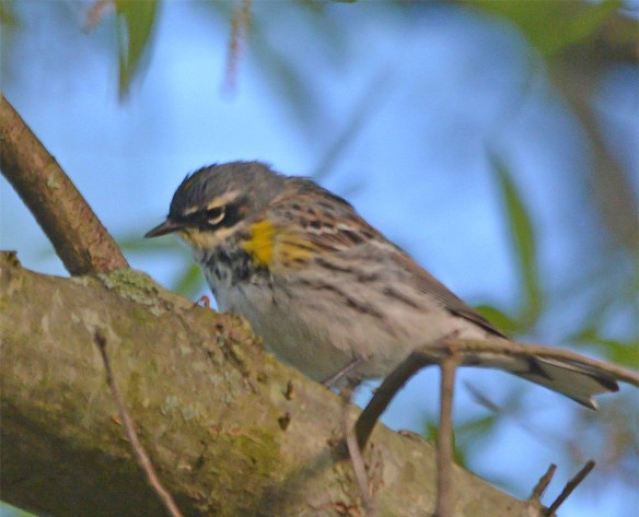 Yellow Rumped Warbler 2017-4