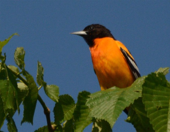 Baltimore Oriole 2017-9