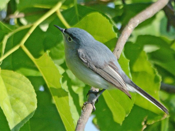Blue Gray Gnatcatcher 2017-7