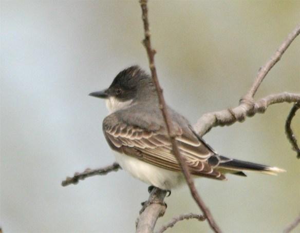 Eastern Kingbird 2017-6