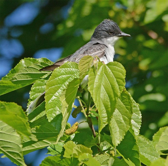 Eastern Kingbird 2017-8