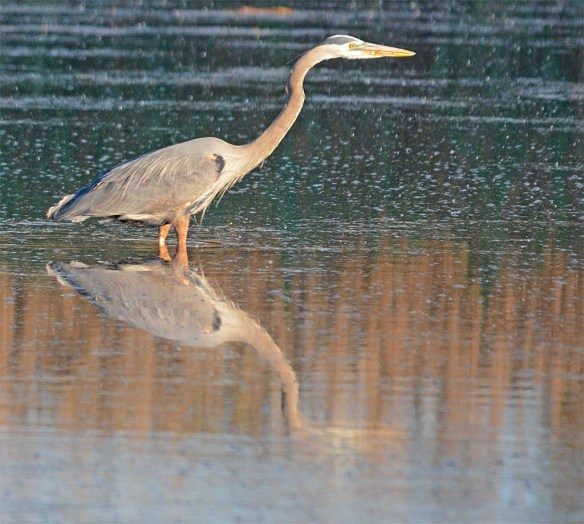 Great Blue Heron 2017-32