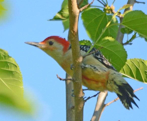 Red Bellied Woodpecker 2017-1