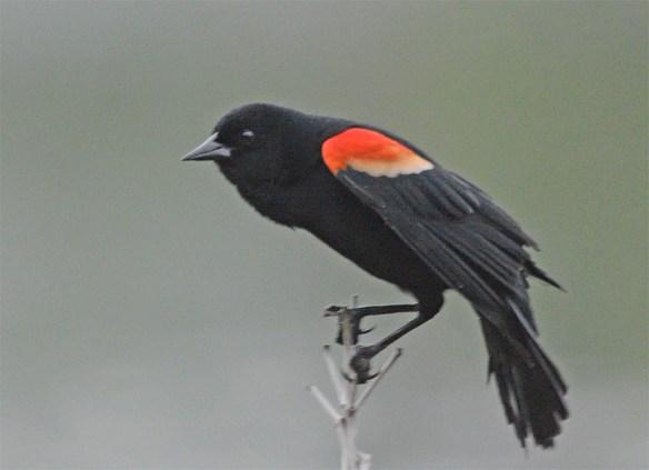 Red Winged Blackbird 2017-21