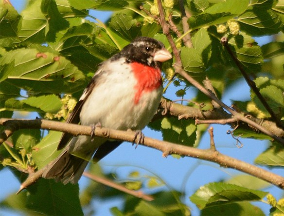 Rose Breasted Grosbeak 2017-3