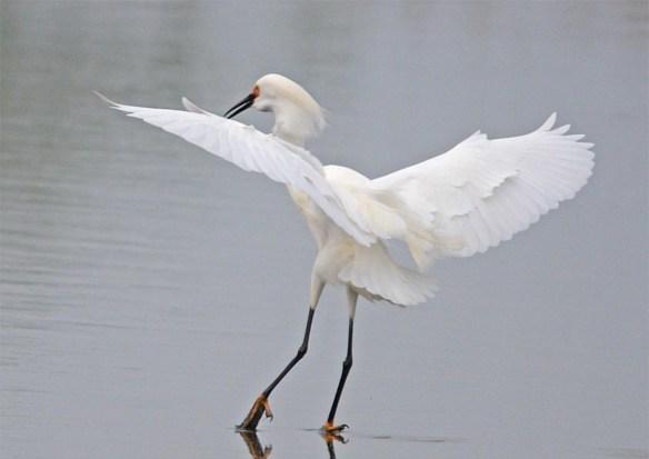 Snowy Egret 2017-23
