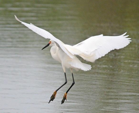 Snowy Egret 2017-24