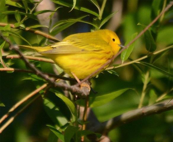 Yellow Warbler 2017-2