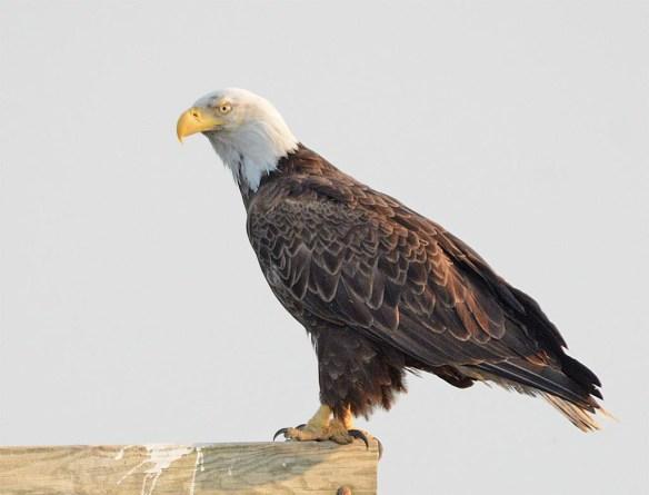 Bald Eagle 2017-113