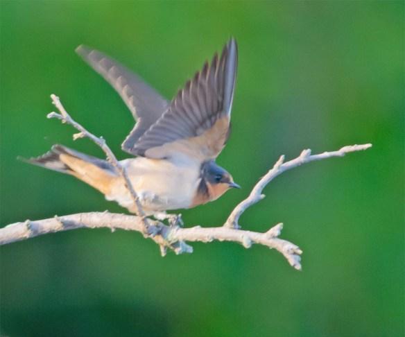 Barn Swallow 2017-13