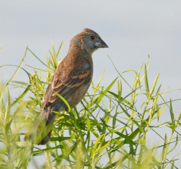 Blue Grosbeak 2017-1