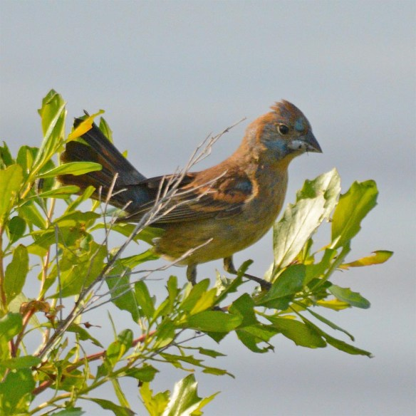 Blue Grosbeak 2017-2