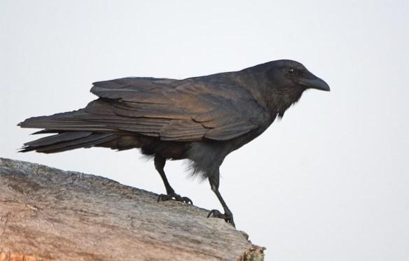 Crow 2017-5