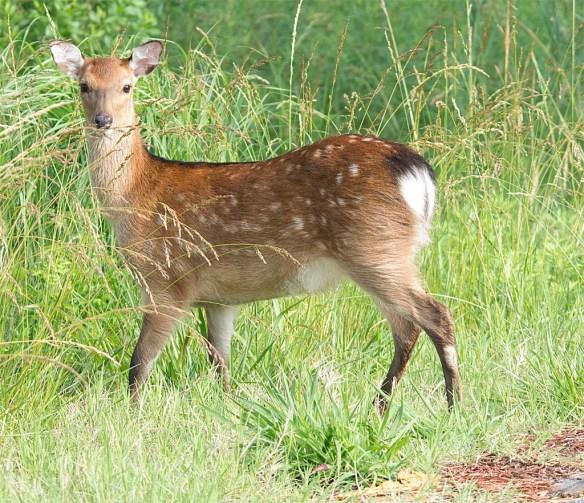 Deer-64