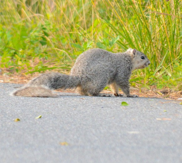 Delmarva Fox Squirrel 12
