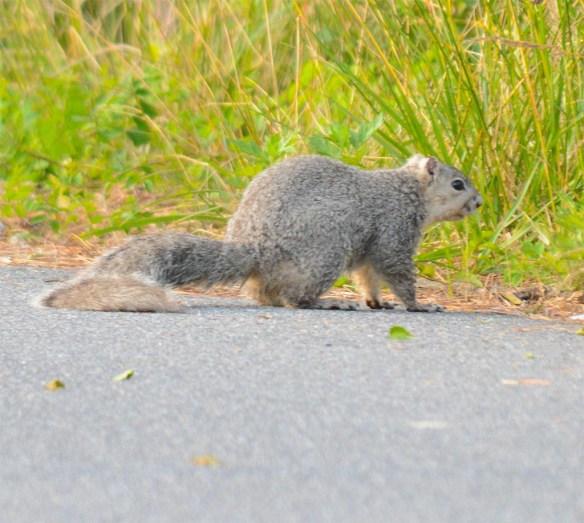 Delmarva Fox Squirrel 12