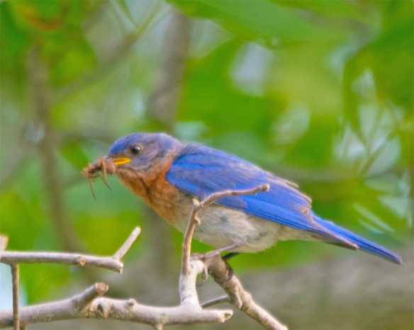 Eastern Bluebird 2017-10