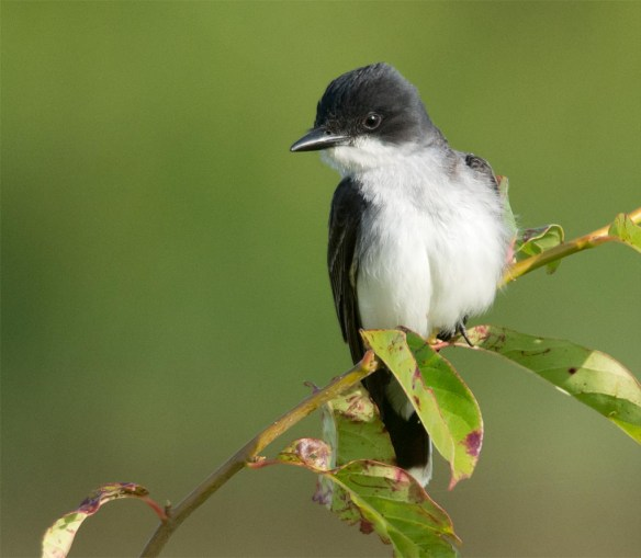 Eastern Kingbird 2017-16