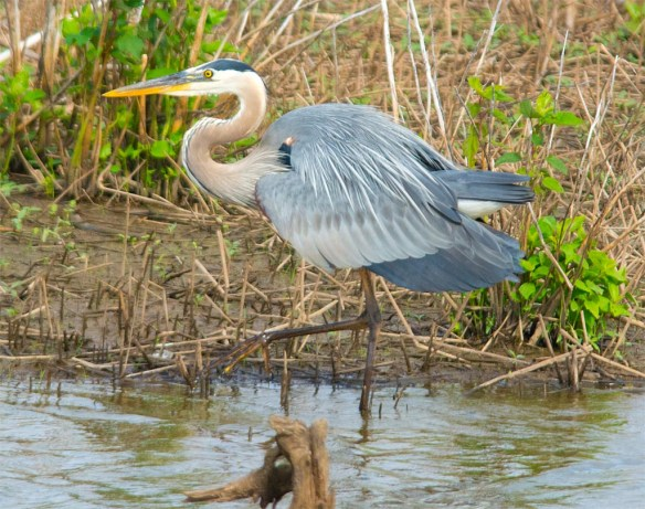 Great Blue Heron 2017-44