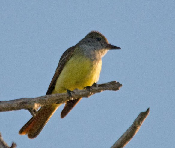 Great Crested Flycatcher 2017-2