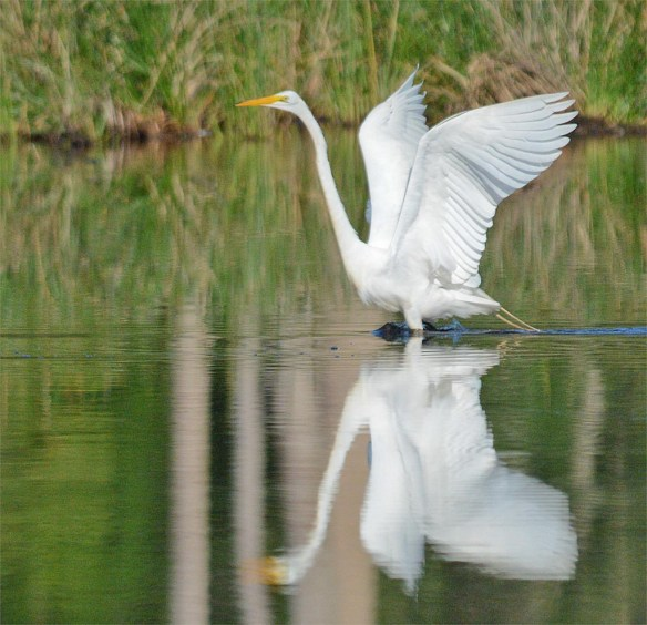 Great Egret 2017-25