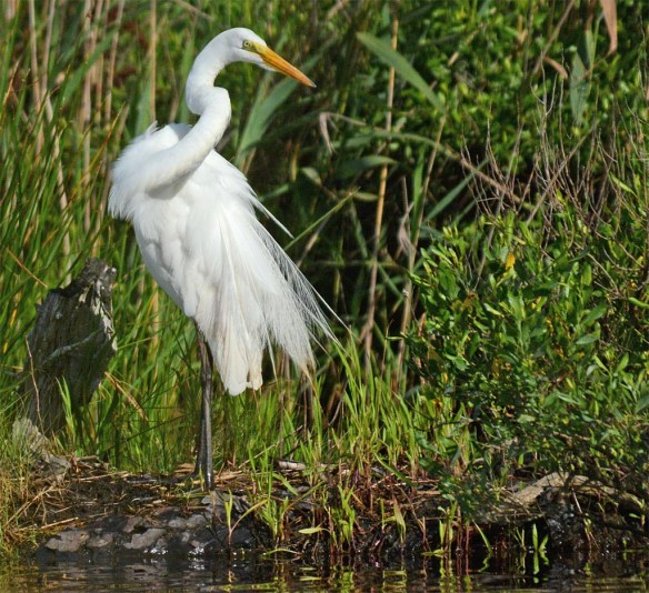 Great Egret 2017-36