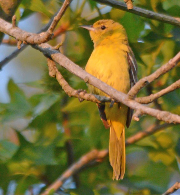 Orchard Oriole 2017-11