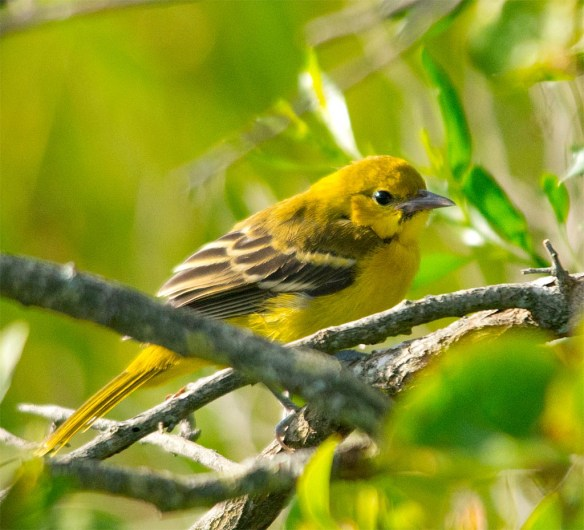 Orchard Oriole 2017-13