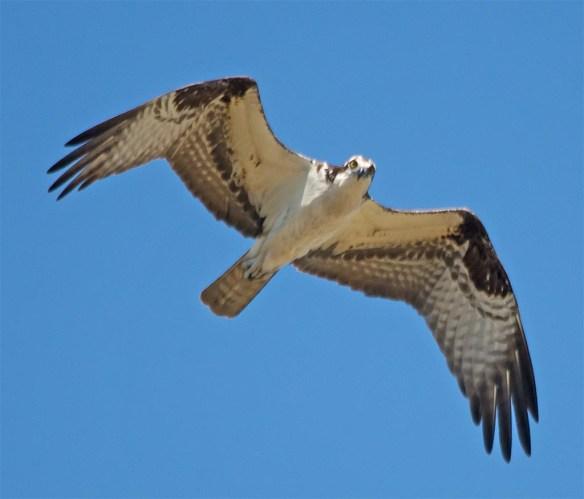 Osprey 2017-74