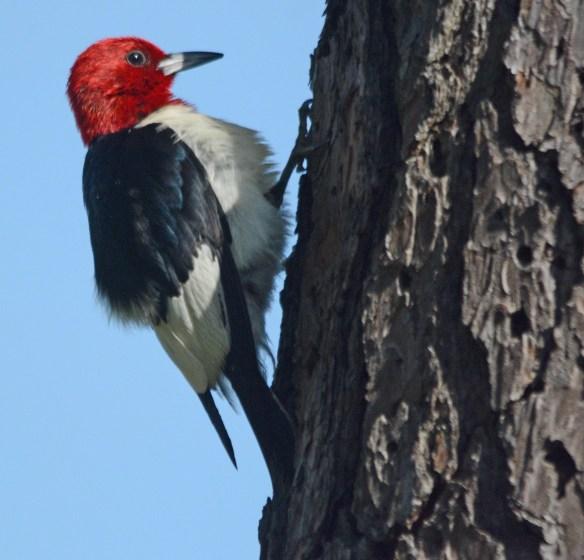 Red Headed Woodpecker 2017-27