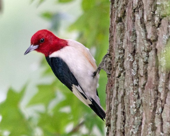 Red Headed Woodpecker 2017-29