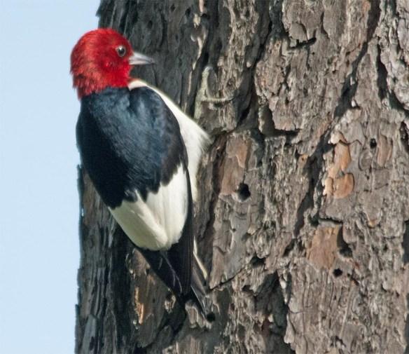 Red Headed Woodpecker 2017-31