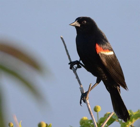 Red Winged Blackbird 2017-67