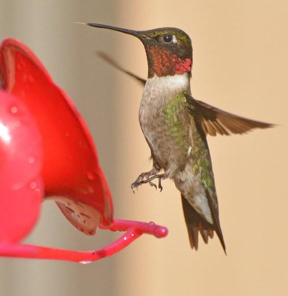 Ruby Throated Hummingbird 2017-6