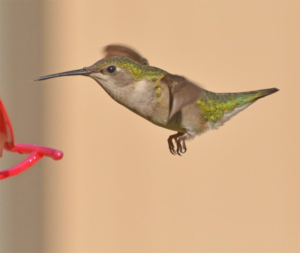 Ruby Throated Hummingbird 2017-7